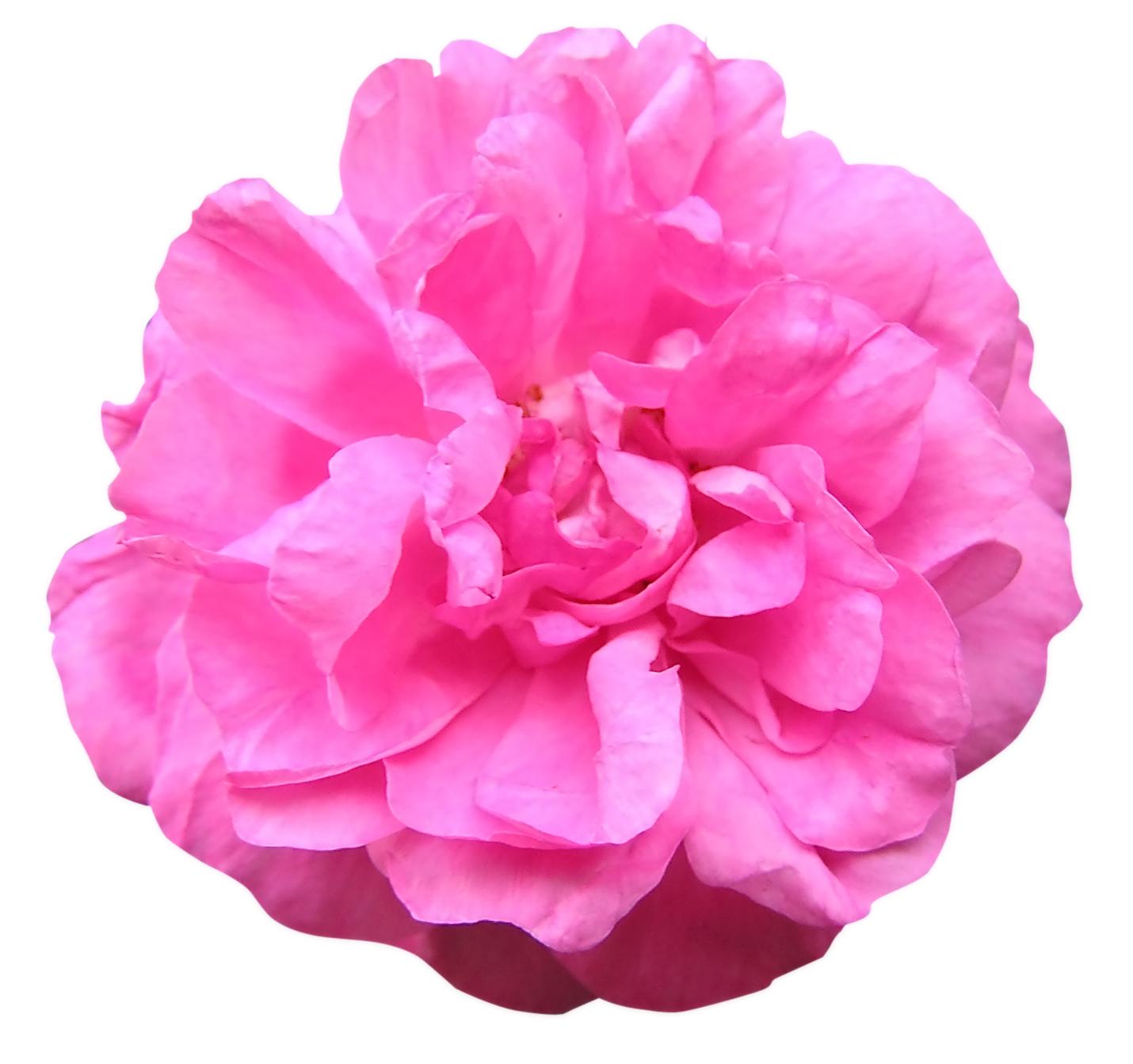 Rosen Gesichtsmaske für Mischhaut